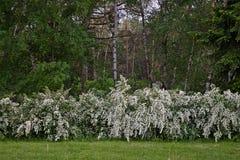Spiraea floreciente de los arbustos Fotos de archivo libres de regalías