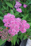 Spiraea Flower Stock Photography