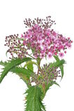 Spiraea flower Royalty Free Stock Photo