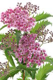 Spiraea flower Stock Photo