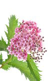 Spiraea flower Stock Photos