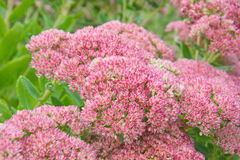 Spiraea flower in nature Royalty Free Stock Photos
