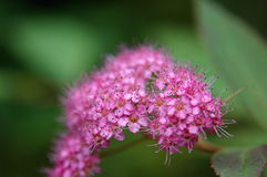 Spiraea flowers. Golden Princess Spirea flower close-up photo. pink flowers Stock Photography