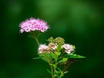 Spiraea japonés o meadowsweet japonés - japonica del spiraea del rosaceae fotos de archivo libres de regalías