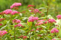 Spiraea japonic. Close up of the Spiraea japonic Stock Images