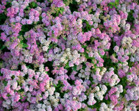 Spiraea Japonica Stock Images