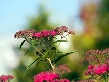 Spiraea japonica Blüte - Spirea Stockbild