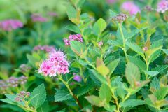 Spiraea japonica flower Stock Photography