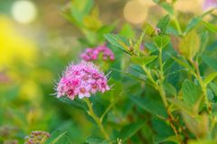 Spiraea japonica flower Stock Images
