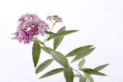 Spiraea japonica flower Royalty Free Stock Photography