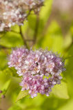 Spiraea japonica flowers Stock Photography