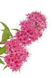 Spiraea japonica isolated  on white background Stock Image
