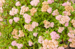 Spiraea japonica Japanese Dwarf Royalty Free Stock Images