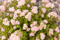 Spiraea japonica Japanese Dwarf Stock Images