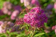 Spiraea japonica Royalty Free Stock Image
