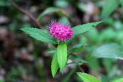 Spiraea japonica or Japanese meadowsweet small purple flowers. Spiraea japonica or Japanese meadowsweet beautifull batch of small purple flowers with large Stock Images