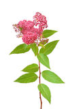 Spiraea japonica (Japanese spiraea) branch Royalty Free Stock Photos