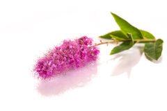 Spiraea Royalty Free Stock Photo