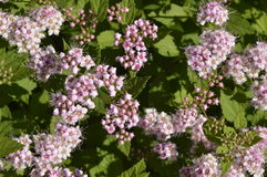 Spiraea japonica. Low ornamental shrub with small pink flowers, Spirea japonica Royalty Free Stock Images