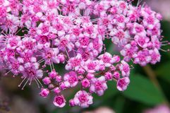 Spiraea Japonica royalty free stock photo