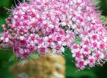 Spiraea Japonica royalty free stock photography