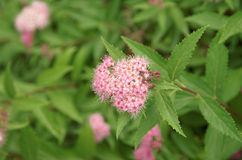 Spiraea Japonica Royalty Free Stock Images