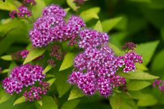 Spiraea japonica Stock Photos