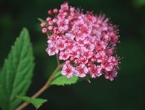Spiraea japonica Stock Images