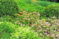 Spiraea japonica spring flower. Pink flowering shrub Stock Photos