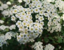 Spiraea media in a garden royalty free stock photos