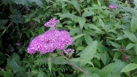 Spiraea medicinsk buske med blomman arkivfilmer