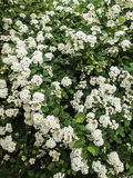 Spiraea nipponica, snowmound, flowering plant Stock Images