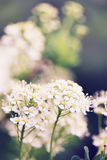 Spiraea Stock Photography