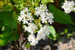 Spiraea rośliny Kwiat Lato jungfrau zdjęcia royalty free