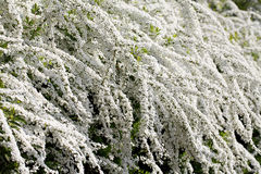 Spiraea shrub. With white flowers in spring Stock Photos