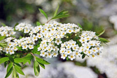 Spiraea spring blossom Stock Image