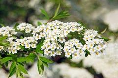 Spiraea spring flower Stock Photography