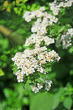 Spiraea spring flower Royalty Free Stock Images