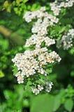 Spiraea spring flower Royalty Free Stock Images
