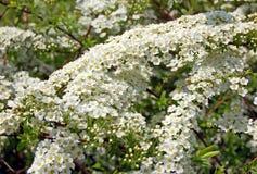 Spiraea spring flower Royalty Free Stock Photography