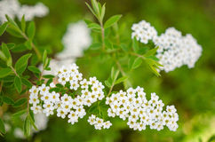 Spiraea thumbergii Royalty Free Stock Photos