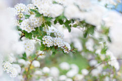 Spiraea thunbergii or baby's breath spirea. Spiraea thunbergii (also known as, baby's breath spirea, Yukiyanagi, Thunberg spirea, )in full bloom. Shallow depthe Stock Photos