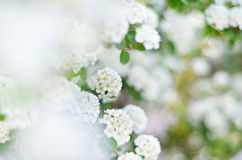 Spiraea thunbergii or baby's breath spirea. Spiraea thunbergii (also known as, baby's breath spirea, Yukiyanagi, Thunberg spirea, )in full bloom. Shallow depthe Stock Image