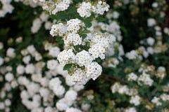 Spiraea Thunbergii. Flowers of Spiraea Thunbergii, ornamental garden varietie Royalty Free Stock Photography