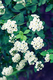 Spiraea vanhouttei Royalty Free Stock Photos