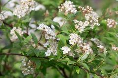 Spiraea vanhouttei, bridal wreath white flowers Royalty Free Stock Photos