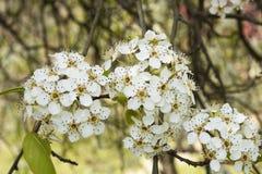 Spiraea vanhouttei kwiat obrazy royalty free