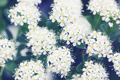 Spiraea with white flowers Royalty Free Stock Photography