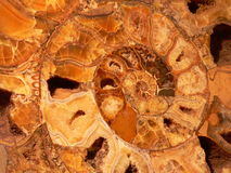 Spiral. Sagittal court of a fossil ammonites Royalty Free Stock Image