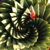 Spiral Aloe. Aloe Polypylla with Camelia flower Indigenous plant of the MAluti Mountains of Lesotho Royalty Free Stock Images